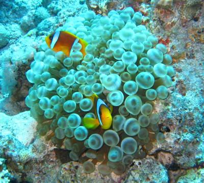 Sea anemone with anemone fish